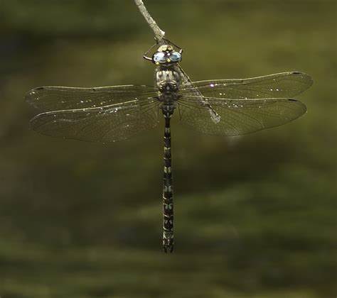 There Be Dragonflies - Austroaeschna subapicalis CONEHEAD