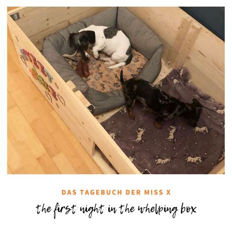 The first night in the whelping box in 2020 | Zwergdackel