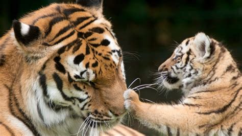 'Tiger selfies' now illegal under New York law | CTV News